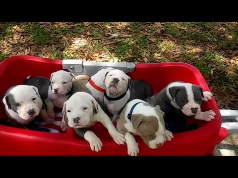 XXL PITBULL PUPPIES FOR SALE; TITANIUM KILO KENNELS; BEST DOGS ON EARTH ; BLUE NOSE PITBULL PUPPIES