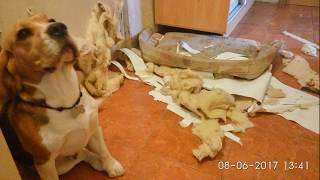 Бигль Бублик остался сам дома №3. Е-МАЕ!!!...Бигль...бигль|| Beagle himself at home - RESULT)))