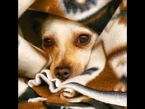 Stray and Scared : 5 year old Female Chihuahua