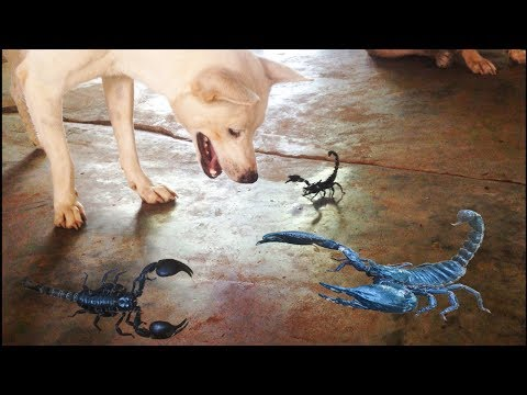 WOW! Smart dog vs Strong scorpion | Amazing war Dog vs Scorpion fight until the end.