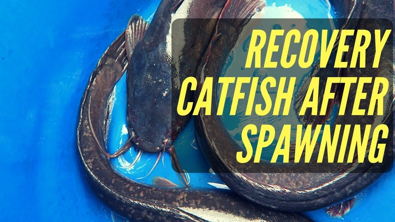 Download How To Recovery Catfish After Spawning