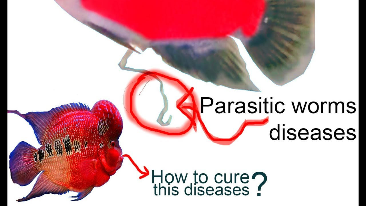 HOW TO CURE PARASITIC WORMS DISEASES FROM THE FLOWERHORN FISH