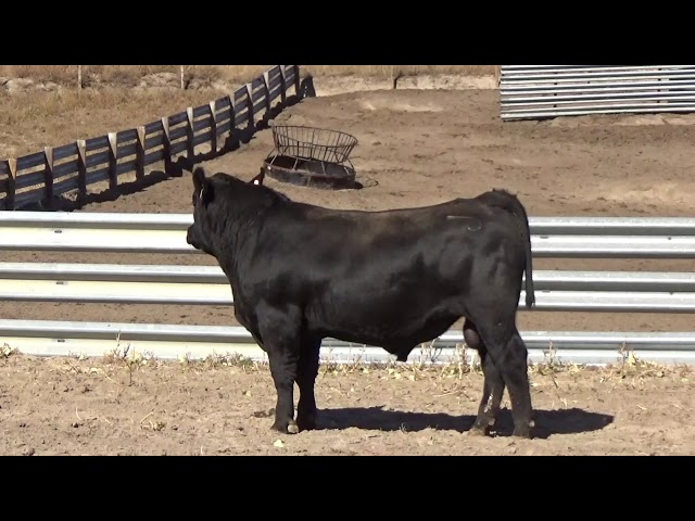 Connealy Angus Lot 137