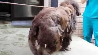 あまりにも酷過ぎる飼育放棄 Animal Neglect【プードルのボランティア・トリミング①】 thumbnail