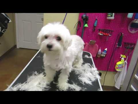 How to groom a senior Maltese Full Groom (Sugar)