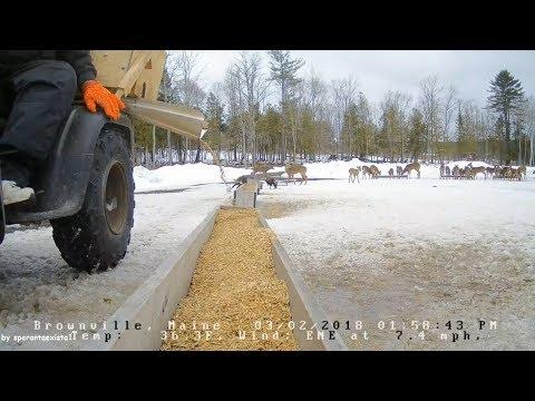 Brownville Food Pantry For Deer ~ Feeding Time! Deer & Turkey 3.2.18