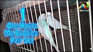 Budgies Parrots ka pair Jaldi Kasy Lagta Hay |  Budgies pairing Basic Tips | Budgie Pairing Guide
