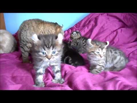 Highlander Kittens!