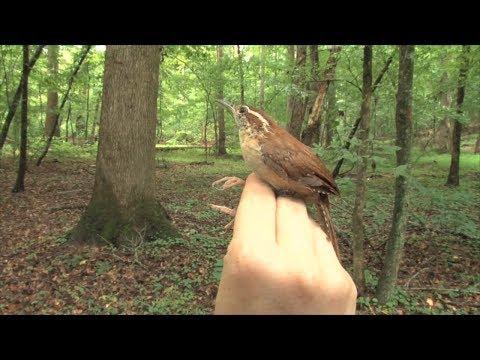 Ranger Nick: Using Mist Netting To Study Bird Health & Behavior