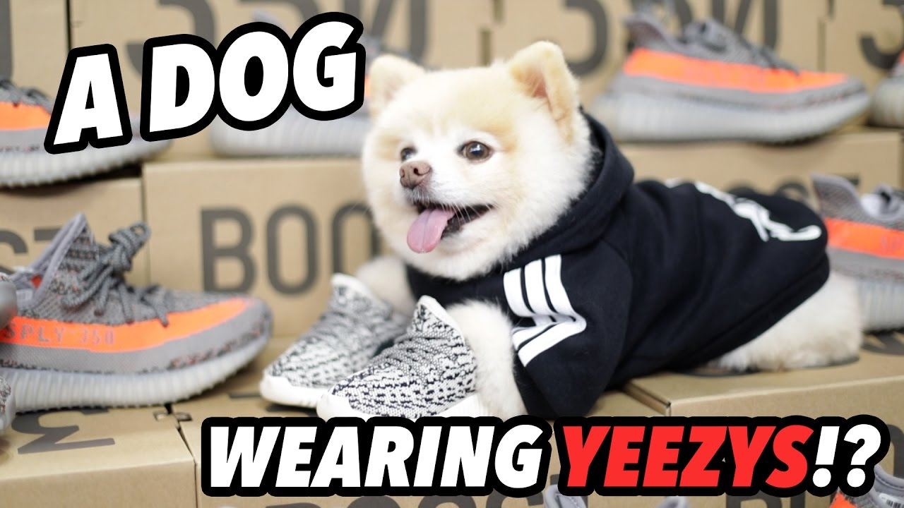 A DOG WEARING YEEZYS AT SNEAKERCON NYC