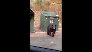 Little Bear Climbing Up The Trash Bin To Grab Some Food