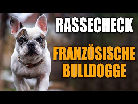 Franzsische Bulldogge Rassecheck  - Rasseportrait, Rassebeschreibung -  Hundeschule STADTFELLE