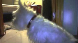 Cookie The Westie Cries At Home