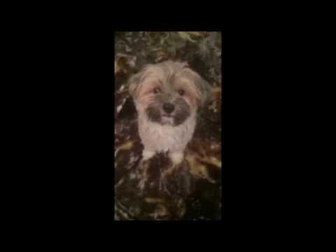 'Maple' the cute little small breed havanese/yorkie puppy dog