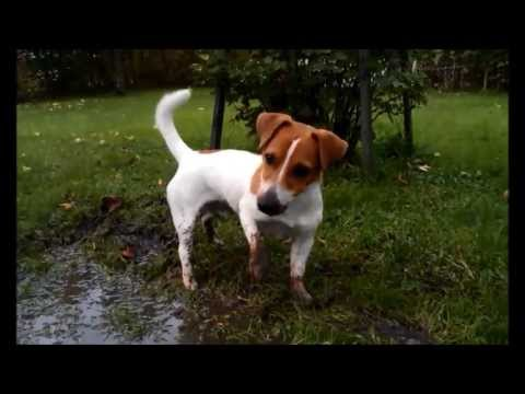 Funny Jack Russell puppy Filo