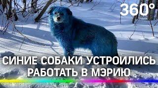 Синих собак взяли на работу в мэрию Дзержинска Перекрашивать пока не будут