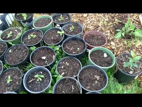 How To Grow Peach And Plum Trees From Seed, Start To Finish