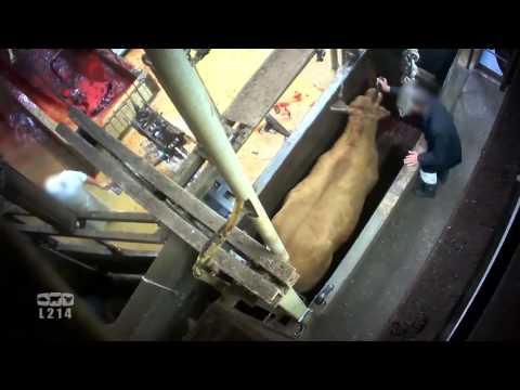 Derrière les murs de l'abattoir de Limoges - les vaches, les veaux, les taureaux
