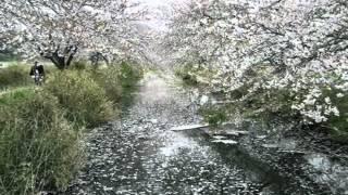 桜花散りかひくもれBGMジャズ風アランフェス協奏曲-1.wmv