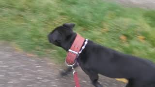 Personal Recommendations when choosing a puppy dog breed or adult. Patterdale Estacado fell terriers