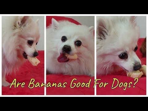 Funny German Spitz Eats Banana!