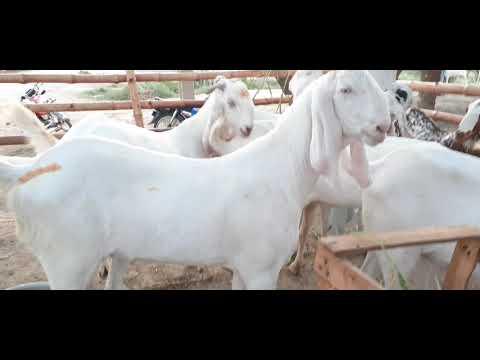 aqeel.goat-farm-dg-khan.15.6.2020.😍🐐🐐🤔👈😱🥇