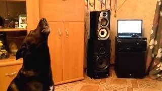 Пёс ( по кличке Джой ) Поет под Уитни Хьюстон