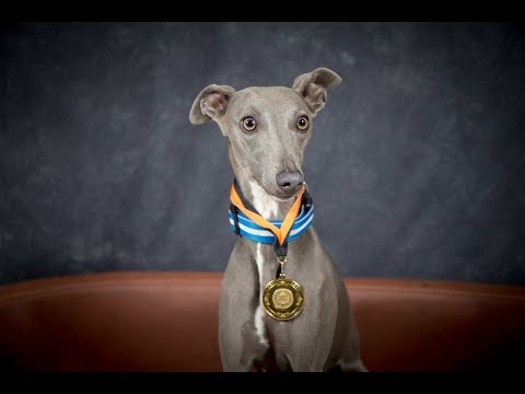 Pixie Willow - Whippet - 4 Weeks Residential Dog Training