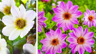 How to Plant Bishop Dahlias: Jeff Turner's guide to how to plant Dahlia tubers