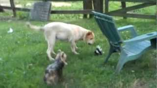 Dog vs Skunk - Funny