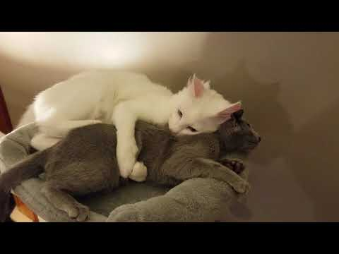 Turkish Angora and Russian Blue Cat Tree Fight