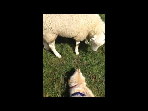 Curious Sheep Becomes Friends With Ecstatic Dog