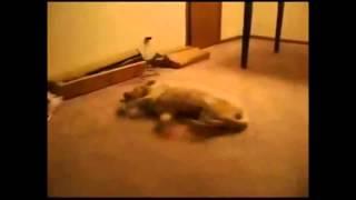Собака бежит во сне