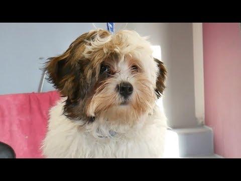 Grooming Guide - Grooming Havanese Puppy #56