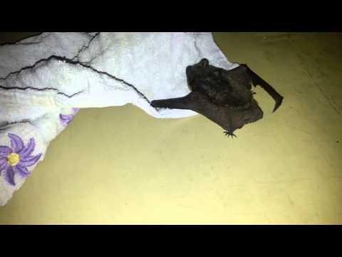 На балкон залетела летучая мышь