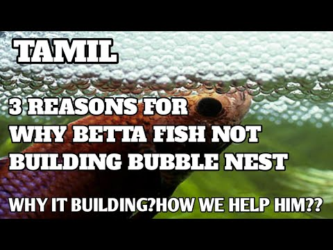 WHY BETTA FISH NOT BUILDING BUBBLE NEST? IN TAMIL
