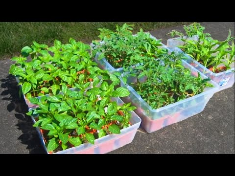 Soil Prep Starting Tomato Seeds Container Gardening Plant You