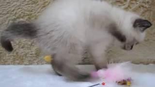 Британский котенок окраса сил поинт кот в питомнике British House