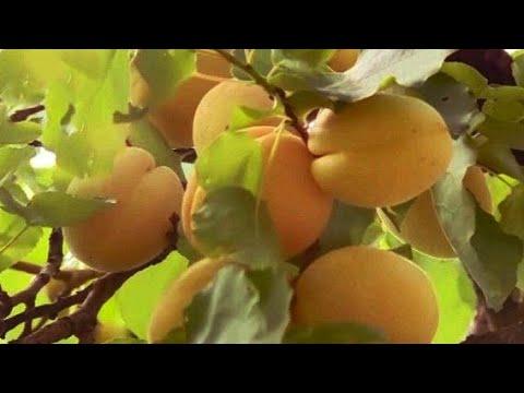 В Таджикистане созрел инжир. В Армении собирают абрикосы