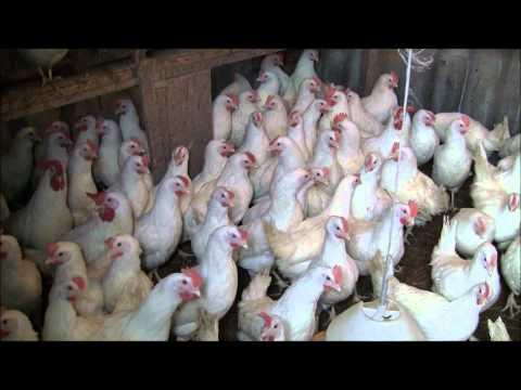 Цыплята и куры несушки