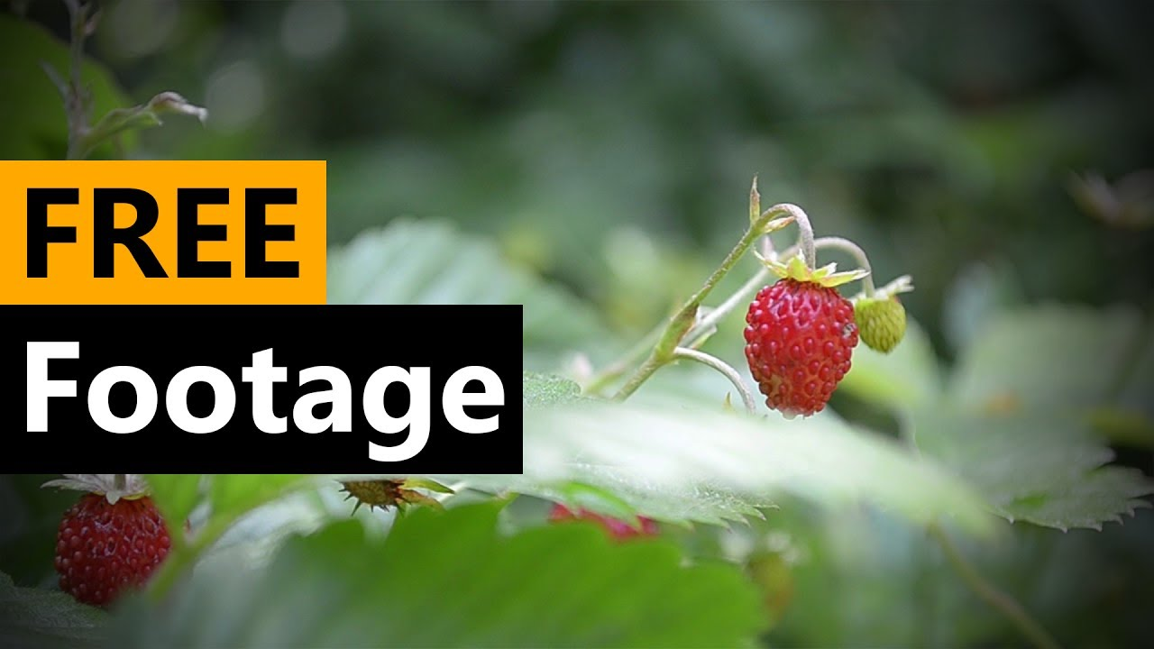 Wild Strawberry  - FREE Stock Video Footage [Download Full HD]