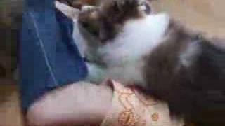 シェットランドシープドッグ(シェルティー)の育つ参考動画.