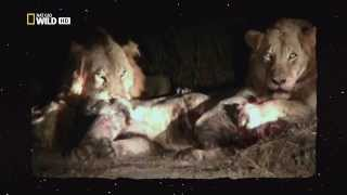 Бои львов за территорию и самок(, 2013-09-10T14:47:10.000Z)