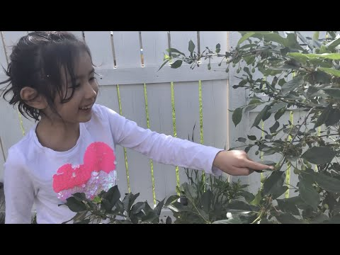 backyard-fruit-tree-and-gardentour---cherries,-plums,-apples,-pears,-and-peas