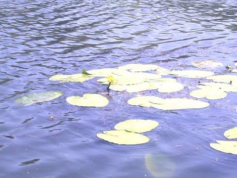 Желтая кувшинка кусочек лета в аквариуме