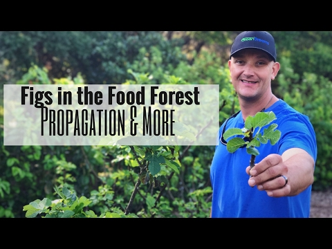 FRESH FIGS From the Food Forest!  Tips on Propogation & More