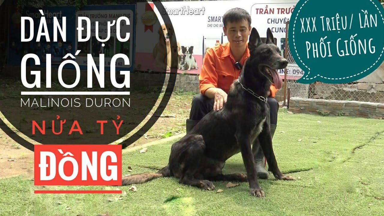 Dàn Đực Giống Malinois Duron - Hàng Trăm Triệu Đồng/ NhamTuatTV - Dog in Vietnam