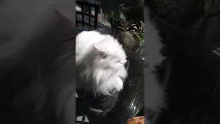 ごみ箱から保護された白い猫は耳が聞こえなかった。大きな鳴き声で自分の存在を伝えるよ