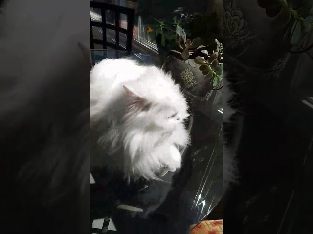 Deaf kitty excited to see owner for 3+ years