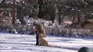 Bella (golden Retriever) Dog Training Video Minneapolis